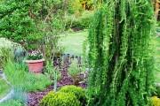 Фото 18 Лиственница (42 фото) — красавица с опадающей хвоей: виды, свойства, посадка, уход