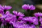 Фото 5 Цветы астры (44 фото): все о сортах, высадке и уходе за растениями