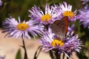 Фото 6 Цветы астры (44 фото): все о сортах, высадке и уходе за растениями