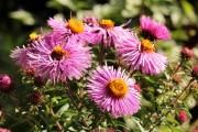 Фото 7 Цветы астры (44 фото): все о сортах, высадке и уходе за растениями