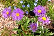 Фото 8 Цветы астры (44 фото): все о сортах, высадке и уходе за растениями