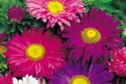 Фото 9 Цветы астры (44 фото): все о сортах, высадке и уходе за растениями