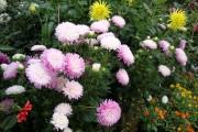 Фото 14 Цветы астры (44 фото): все о сортах, высадке и уходе за растениями