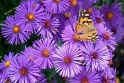 Фото 2 Цветы астры (44 фото): все о сортах, высадке и уходе за растениями