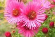 Фото 16 Цветы астры (44 фото): все о сортах, высадке и уходе за растениями