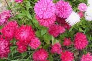 Фото 17 Цветы астры (44 фото): все о сортах, высадке и уходе за растениями