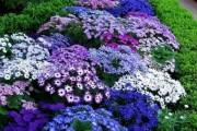 Фото 4 Цветы астры (44 фото): все о сортах, высадке и уходе за растениями
