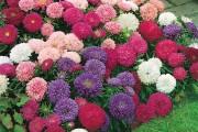 Фото 18 Цветы астры (44 фото): все о сортах, высадке и уходе за растениями