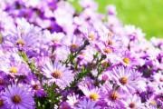 Фото 22 Цветы астры (44 фото): все о сортах, высадке и уходе за растениями