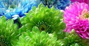 Цветы астры (44 фото): все о сортах, высадке и уходе за растениями фото