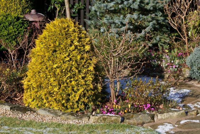 Некоторые сорта туи могут слегка желтеть в осенний период