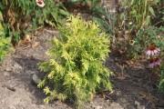 Фото 7 Туя: посадка и уход — зеленые пирамиды живых изгородей и тенистых аллей в нашем саду