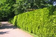 Фото 6 Туя: посадка и уход — зеленые пирамиды живых изгородей и тенистых аллей в нашем саду