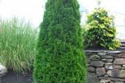 Фото 9 Туя: посадка и уход — зеленые пирамиды живых изгородей и тенистых аллей в нашем саду