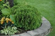 Фото 4 Туя: посадка и уход — зеленые пирамиды живых изгородей и тенистых аллей в нашем саду