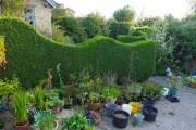 Фото 11 Туя: посадка и уход — зеленые пирамиды живых изгородей и тенистых аллей в нашем саду