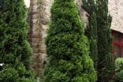 Фото 12 Туя: посадка и уход — зеленые пирамиды живых изгородей и тенистых аллей в нашем саду
