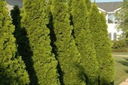 Фото 14 Туя: посадка и уход — зеленые пирамиды живых изгородей и тенистых аллей в нашем саду