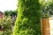 Фото 17 Туя: посадка и уход — зеленые пирамиды живых изгородей и тенистых аллей в нашем саду