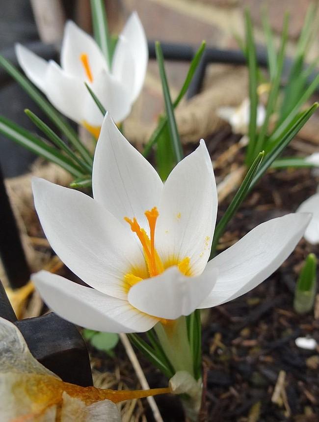 Желтенькая тычинка очень эффектно смотрится среди белоснежных лепестков Жанны Д'Арк