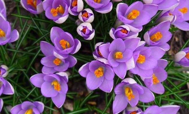 Крокусы нежно-фиолетового цвета
