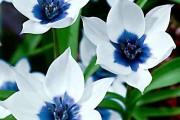 Фото 3 Крокусы (50 фото цветов): посадка, уход, размножение