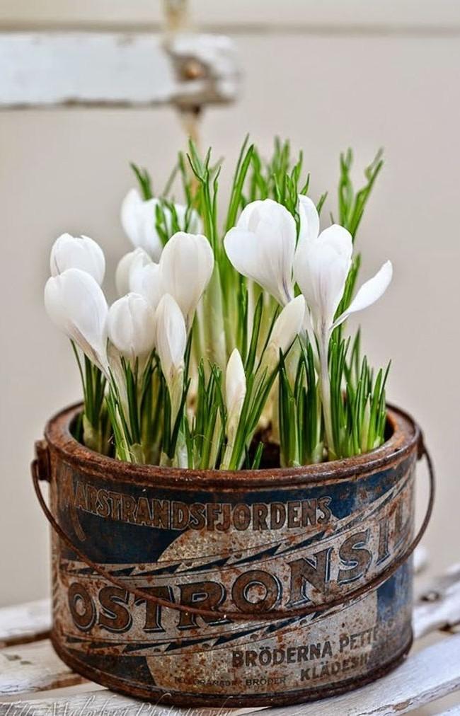Цветы крокуса Жанна Д'Арк
