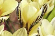 Фото 6 Крокусы (50 фото цветов): посадка, уход, размножение