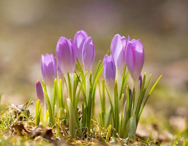 Крокусы - первые цветы весны