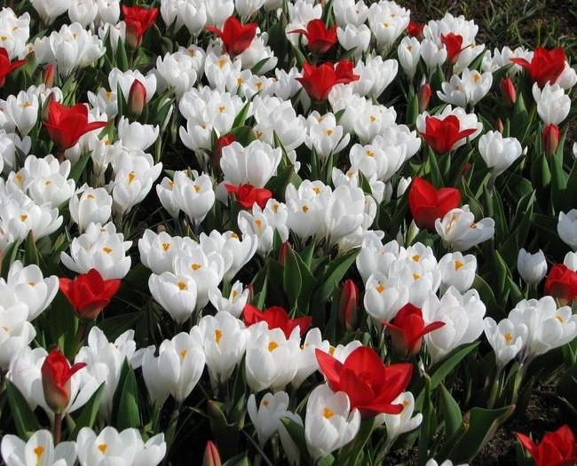 Чудесная красно-белая лужайка