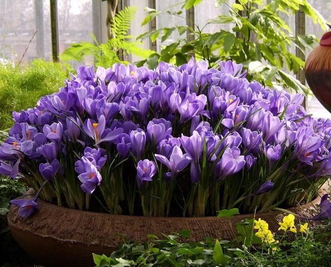 Прелестная клумба из светло-фиолетовых цветов шафрана