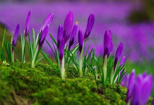 Вайолет Квин – невероятно красивые фиолетовые цветы