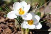 Фото 2 Крокусы (50 фото цветов): посадка, уход, размножение