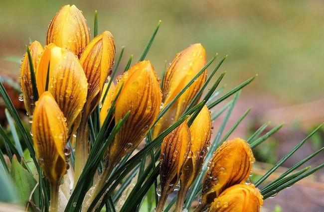 Крокус Валикола - очень эффектный цветок