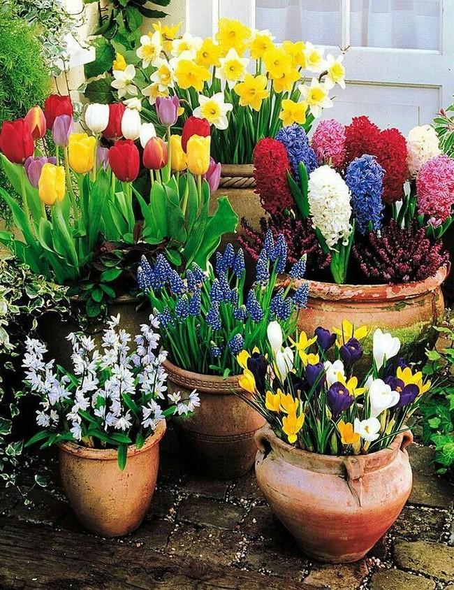 Крокус гармонично смотрится с другими цветами