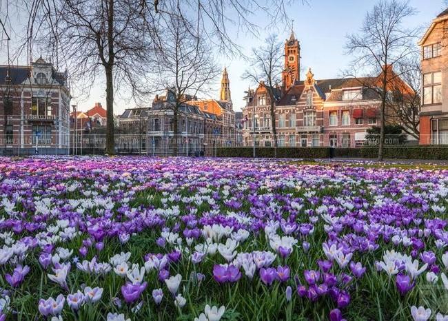 Фиолетовые цветы крокуса отлично смотрятся на городских лужайках