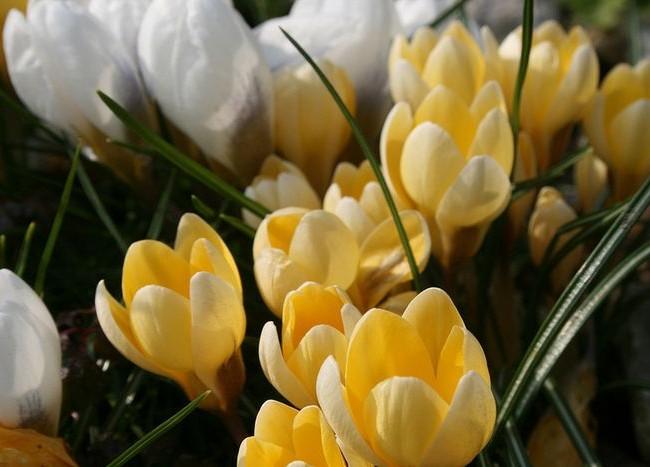 Нежно-кремовые цветы Крим Бьюти