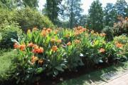 Фото 5 Цветок канна (45 фото): все о видах, размножении, посадке и уходе