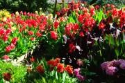 Фото 22 Цветок канна (45 фото): все о видах, размножении, посадке и уходе