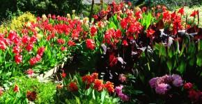 Цветок канна (45 фото): все о видах, размножении, посадке и уходе фото