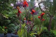 Фото 9 Цветок канна (45 фото): все о видах, размножении, посадке и уходе