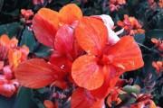 Фото 4 Цветок канна (45 фото): все о видах, размножении, посадке и уходе