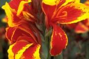 Фото 1 Цветок канна (45 фото): все о видах, размножении, посадке и уходе