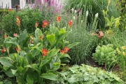 Фото 21 Цветок канна (45 фото): все о видах, размножении, посадке и уходе