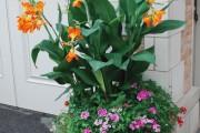 Фото 12 Цветок канна (45 фото): все о видах, размножении, посадке и уходе