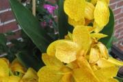 Фото 2 Цветок канна (45 фото): все о видах, размножении, посадке и уходе