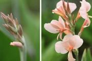 Фото 15 Цветок канна (45 фото): все о видах, размножении, посадке и уходе