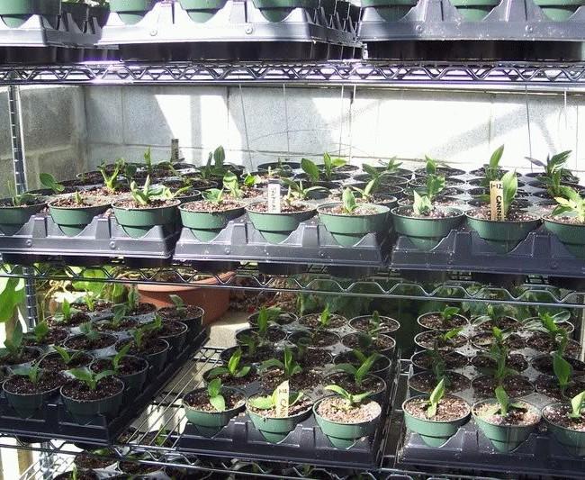 После появления первых листиков канны рассаживают в небольшие горшочки