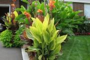 Фото 16 Цветок канна (45 фото): все о видах, размножении, посадке и уходе