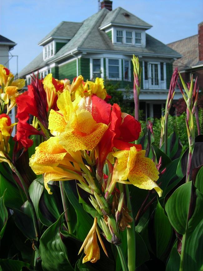 Канна - экзотическое украшение вашего сада